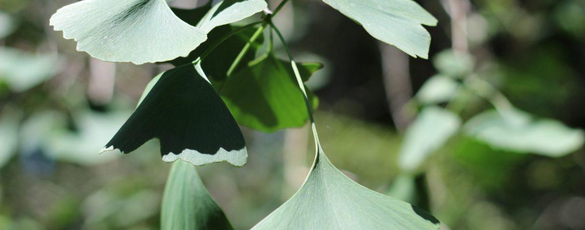 Ginkgo biloba/Maidenhair Tree