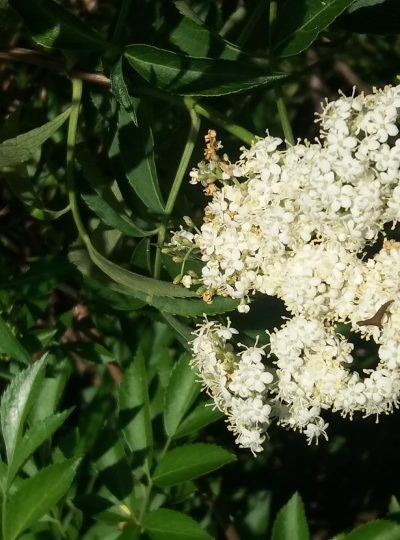 Loose Leaf Elder Flowers (2 oz)