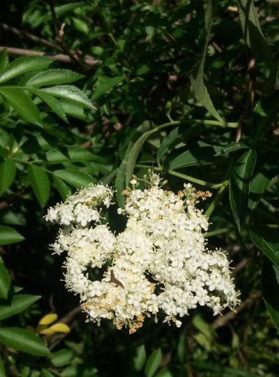 Loose Leaf Elder Flowers (2 oz)